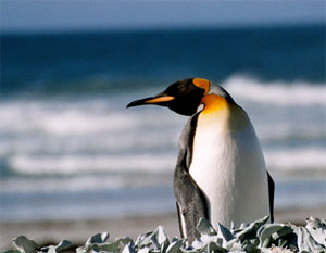 Pinguino re a Saunders, Isole Falkland